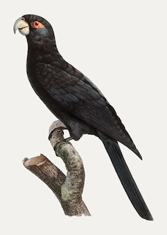 Papagaio vasa maior