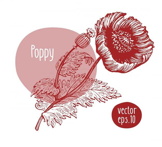 Papoula retrô desenhada de mão. flor de florescência de vetor. ilustração botânica.