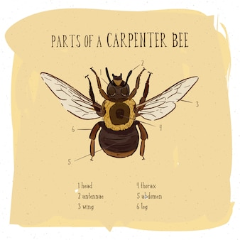 Parte da abelha de carpinteiro, vintage gravado ilustração.