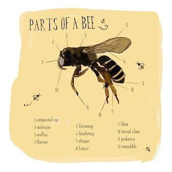 Parte do desenho do vetor do vintage da abelha do mel.