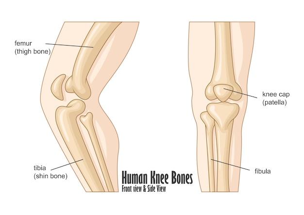 Parte frontal dos ossos do joelho humano e vista lateral anatomia