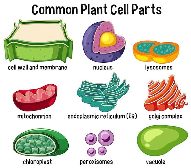 Partes de células de plantas comuns