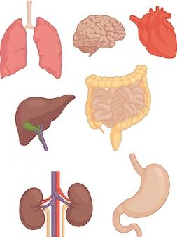 Partes do corpo humano - cérebro, pulmão, coração, fígado, intestinos
