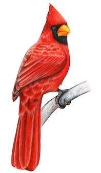 Pássaro de mão desenhada cardeal vermelho lápis de cor aquarela