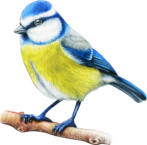 Pássaro desenhado mão bluetit lápis de cor aquarela