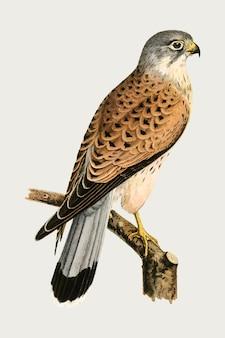 Pássaro peneireiro-comum em estilo desenhado à mão