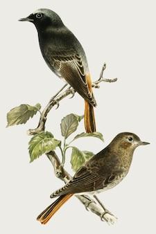 Pássaros redstart-negros europeus desenhados à mão