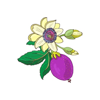 Passiflora maracujá, maracujá roxo, fruta violeta sobre fundo branco. folha, botão e flor exótica. ilustração de verão para imprimir têxteis, tecidos, papel de embrulho.