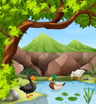 Patos nadando na lagoa