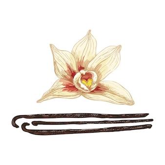Pau e flor de baunilha. ilustração em vetor cor vintage incubação isolada em um fundo branco.