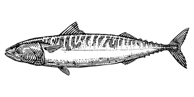 Peixe de cavala gravando ilustração desenhada à mão