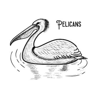 Pelicano - ilustração gravada vintage