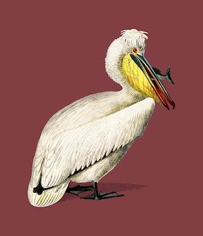 Pelicano (pelecanus) ilustrado por charles dessalines d orbigny (1806-1876).