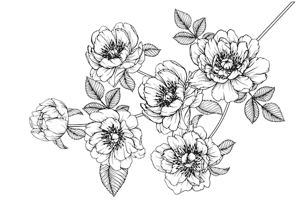 Peônia julia rose folha e desenhos de flores. vintage mão ilustrações botânicas desenhadas.