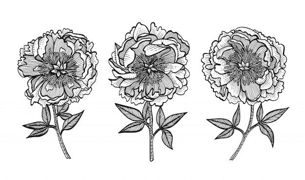 Peônias de desenho à mão. flores gráficas.