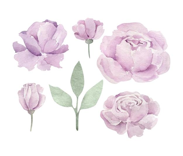 Peônias roxas em aquarela