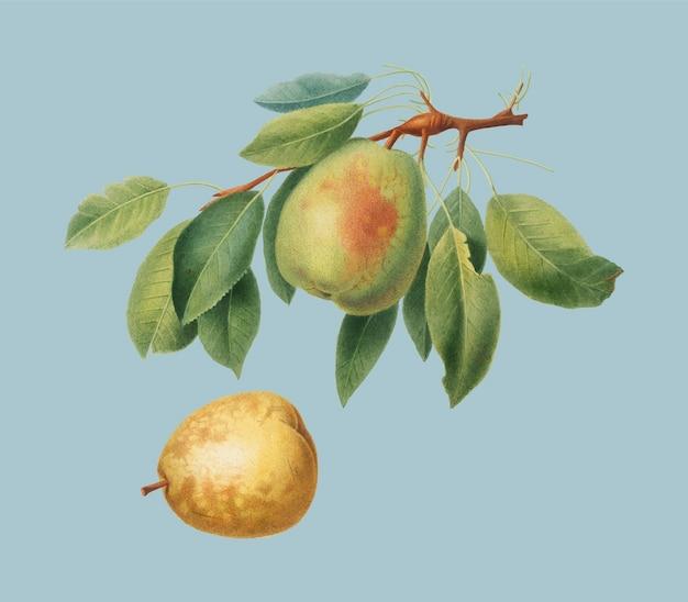 Pêra da ilustração de pomona italiana