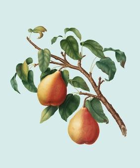 Pera européia selvagem da ilustração de pomona italiana