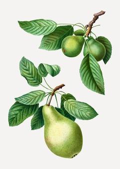 Peras em um galho