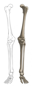 Pernas de osso humano em preto e branco gráfico