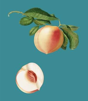 Pêssego da ilustração de pomona italiana
