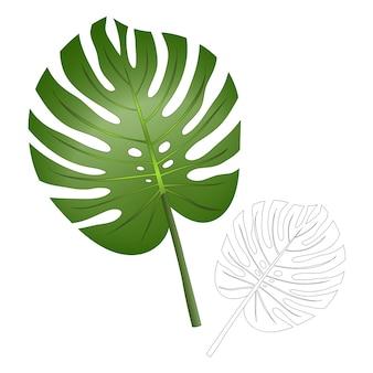Philodendron monstera leaf isolado no fundo branco.