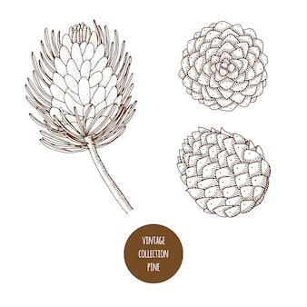 Pinho. cone. vetorial mão desenhado conjunto de plantas cosméticas isolado no fundo branco