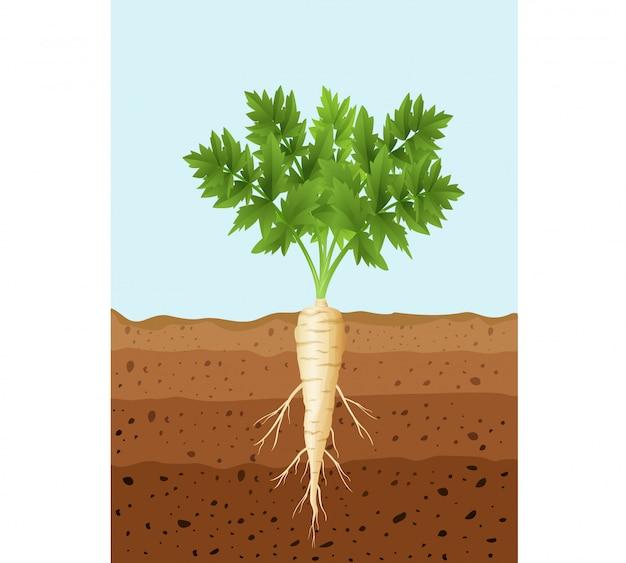 Planta de árvore de pastinaga com raízes