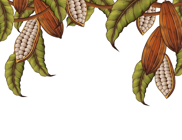 Planta de cacau decorada com moldura em fundo branco em estilo de gravura