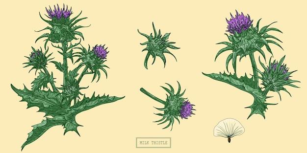 Planta de cardo leiteiro medicinal, ilustração botânica desenhada à mão em um moderno estilo simples