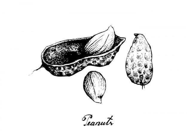 Planta de mão desenhada de amendoins