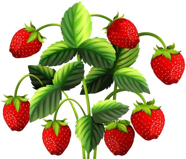 Planta de morango com morangos vermelhos