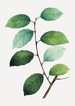 Planta de salgueiro orelhudo Vetor grátis