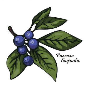Planta de uva-ursina de cascara sagrada com as folhas verdes isoladas. rhamnus purshiana, espinheiro cascara sagrada e jargão de chinook, chittem stick e chitticum frangula purshiana.