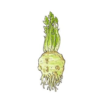 Planta inteira de raiz de aipo em branco, desenho de esboço desenhado à mão de vegetais crus saudáveis para temperos alimentares