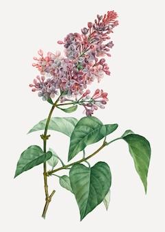 Planta lilás rosa