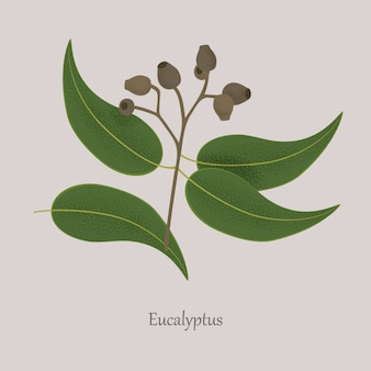 Planta medicinal eucalipto, sementes, folhas em um galho.