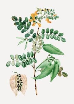 Planta senna