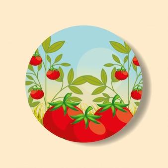 Plantação vegetal colheita tomate
