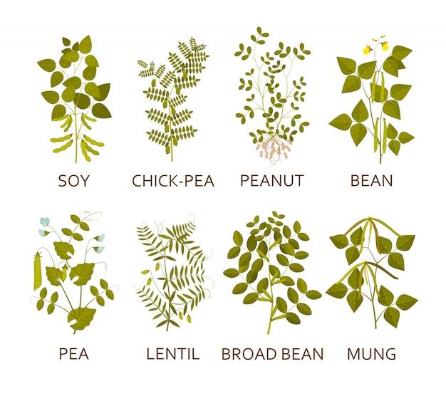 Plantas de leguminosas com folhas, vagens e flores. ilustração.