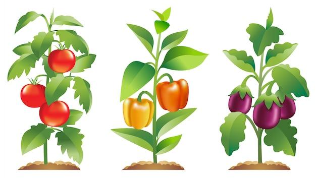 Plantas de pimentão e beringela de tomate