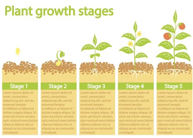 Plantas que crescem infográfico. processo de cultivo de plantas. estágios de crescimento de plantas.