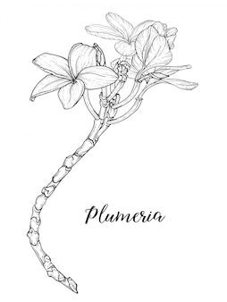 Plumeria flores desenho e esboço com arte linear