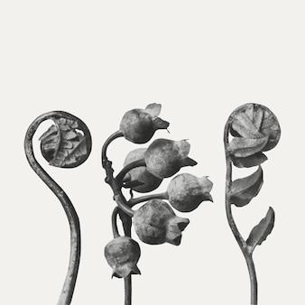 Polypodiaceae aspidieae (polypody) fronde enrolada ampliada 4 vezes vetor