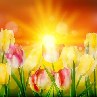 Por do sol sobre o campo de tulip flowers blooming colorida.