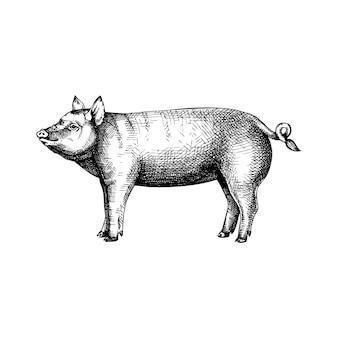 Porco desenhado à mão. gravura retrô com animal de fazenda