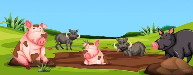 Porcos e javalis na cena de lama