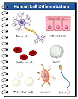 Pôster de informações sobre diferenciação de células humanas