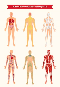 Pôster de sistemas de órgãos do corpo masculino