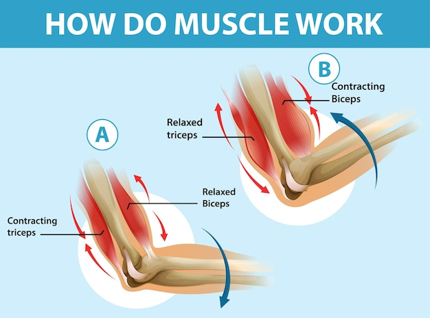 Pôster educacional de como o músculo funciona